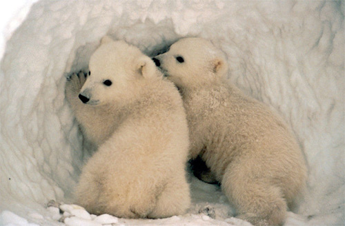 humorous polar bears